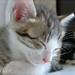 ネコ:Lullaby