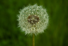 Blow on me (Marcus Ramberg) Tags: white plant dof bokeh fluffy gras