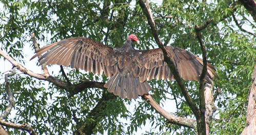 turkey vulture open wing