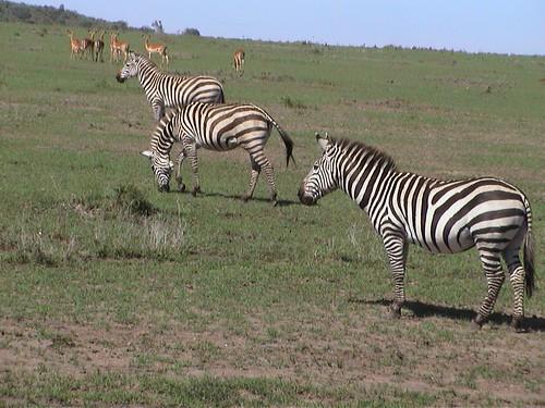 Mara Zebras with Antelopes in BG