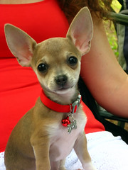 Speak up. I can't hear you. (abbyladybug) Tags: dog chihuahua virginia little tiny wee halifax biggie bitty flickrmeetups flickrstock rsgmeetup20070714 halifaxva rsgmeetups