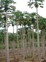 Day8_Maui_PapayaTrees (Amudha Irudayam) Tags: trees beach hawaii papaya maui amudha