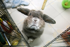 Andora's greedy face (jade_c) Tags: pet rabbit bunny animal mammal singapore opal periscope  hollandlop andora  lagomorph opalhollandlop