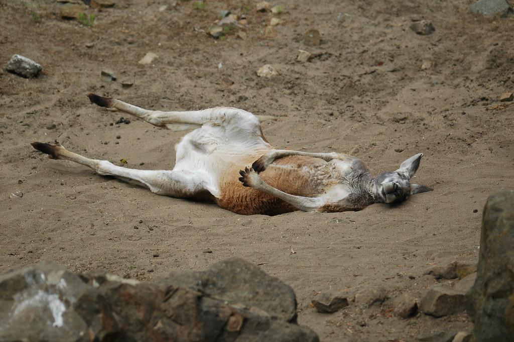 袋鼠的星期天 - 艾小柯 - 流浪者的乡愁