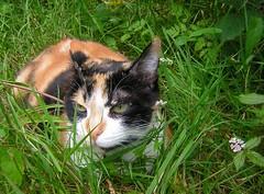 Jardina au jardin (zenera) Tags: summer portrait cute love nature grass closeup cat garden happy hope nikon pretty peace zenfli pussy whiskers calico catloaf jardina