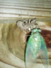 P8190294 (tbertor1) Tags: locust tulio bertorini