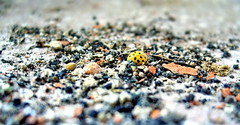 Yes, but yellow... (Emilofero) Tags: macro yellow ladybird wowiekazowie