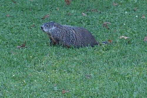 Groundhog - cropped