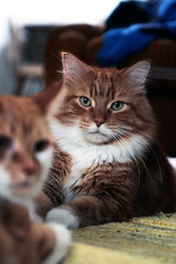 (Kevin Steele) Tags: toby orange cats cat ginger orangecat tabby kitty kitties fiddy