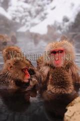 30090540 (wolfgangkaehler) Tags: winter japan asian mammal japanese monkey asia wildlife group grooming hotspring nagano jigokudani snowmonkey japanesemacaque jigokudanijapan