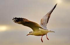 Hovering for bread (bobbrooky) Tags: uk england birds nikon places coastal fullframe creatures seashore ornithology tidal southport merseyside rspb marshside d700
