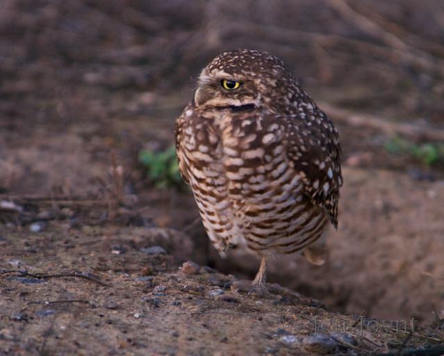 Burrowing Owl balances