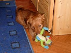 Hunde - 63 (Manfred Lentz) Tags: pets dogs puppy pups puppies hunde littledogs welpen hündchen babydogs whelps