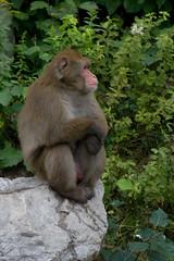 Macaque japonais / Japanese Macaque (Bloui) Tags: animal mammal zoo monkey july 2010 macaque snowmonkey japanesemacaque macacafuscata borealie macaquejaponais rebelxti zoosauvage borealieorg boralie sflicien