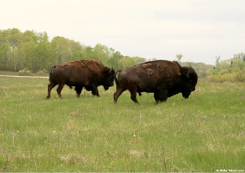 Bisons. riding Mountain Prov park. Manitoba