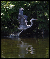 Great Heron Wings (LouisY55) Tags: bird greatheron grandheron oiseauxduqubec photoquebec lysdor animauxqc birdsofquebec