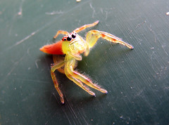 All About Mopsus mormon - Green Jumping Spider - Australia (emblatame (Ron)) Tags: spider jumping eyes pretty australia attractive arachnida lovable salticidae greenjumpingspider anawesomeshot mopsusmormon clownspider excapture flickrhivemindgroup