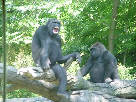 Western lowland gorillas at the Bronx Zoo