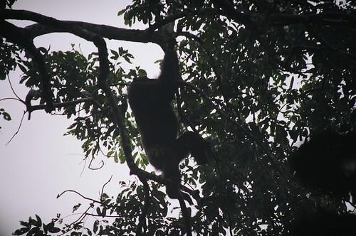 Uganda - QENP Chembure Gorge Chimps 2
