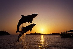 leaping_dolphins