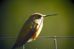 Hummingbird - by thatguyeric