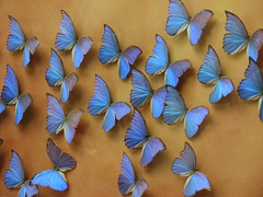 A flutter of Butterlies - blue clolor clolour butterfly butterflies butterlies flutter