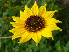 Sunflower (pchowhan) Tags: sony digi
