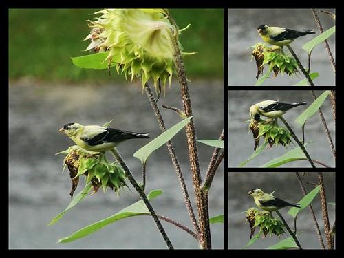 Tournesol d'automne et oiseau gourmand