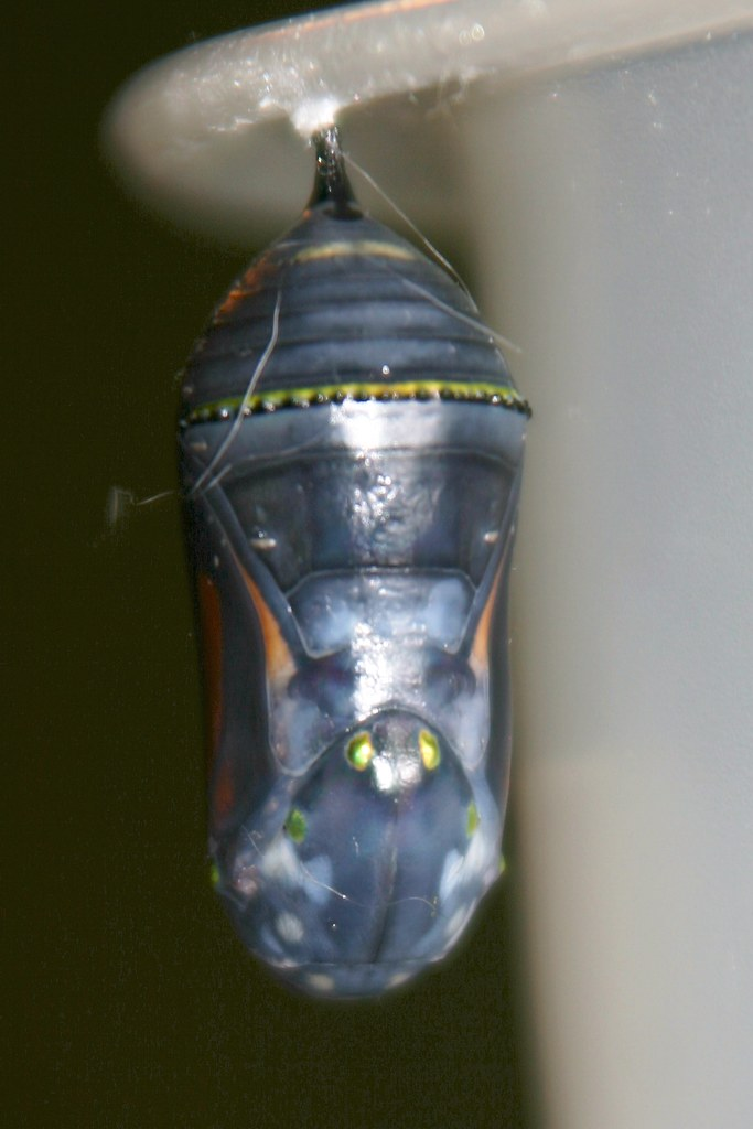 Gold Beads on Clear Chrysalis