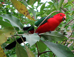 Australian King Parrot (Abizeleth) Tags: red tree green bird parrot australia queensland talklikeapirateday australiankingparrot alisterusscapularis athertontablelands naturesfinest pirateday theperfectphotographer schoolforfieldstudies mabiforest yourock1st