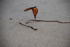 Butterfly in the sand