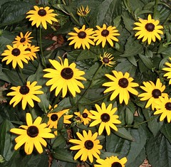 Rudbeckia (luvlymikimoto (Miki)) Tags: flowers gardens myhouse mygarden rudbeckia