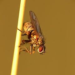 draycote meadows 13092007-14 (Walwyn) Tags: insect fly warwickshire diptera walwyn pdpnw draycotemeadows