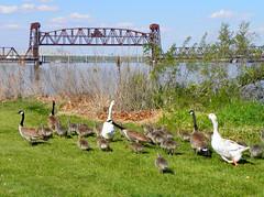 Just keep 'em movin' (pegbent) Tags: psp spring may columbiariver snakeriver gosling canadagoose brantacanadensis 2010 pasco sacajaweastatepark olympussp590uz