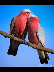 Galahs - What is love.... (Vanessa Mylett) Tags: blue sky tree bird love nature birds backyard branch pair country australia together queensland southeast companion share galahs galah cacatuaroseicapilla scenicrim borderfx slbcourtship