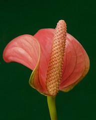 Flamingo Flower (njchow82) Tags: pink plant flower nature closeup anthurium flamingoflower flowerscolors dmcfz18 njchow82