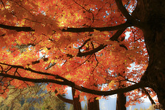 Yosemite Maple (San Francisco Gal) Tags: california autumn tree nature leaves nationalpark maple sierra yosemite yosemitenationalpark virtualjourney bestcapturesaoi mygearandmepremium virtualjourney2