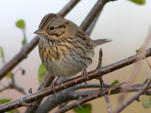 Lincolns Sparrow 3-20101029