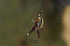 Spider (Ryan Gardiner) Tags: mexico spider nikon colorful web arachnid photograghy 8legs d90