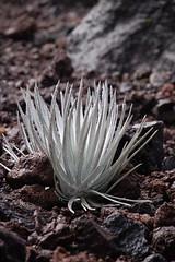 Endangered Silversword plant - after the rain (moorepix4u2c) Tags: plant volcano maui haleakala endangered silversword threatenedspecies