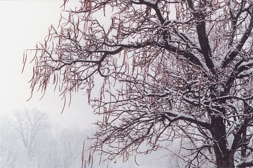 N.Y. Storm Fells a Catalpa Tree - NYTimes.com