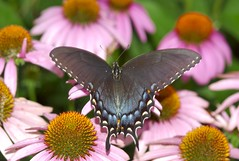 Black Tiger Swallowtail on Purple Coneflower - by dbarronoss