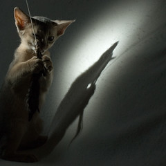 In the Spotlight 1 (peter_hasselbom) Tags: cats cat kitten play flash feathers kittens abyssinian snoot cc100