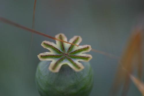 Poppy Fruit