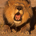 Black-maned African Lion calling CS Botswana by WildImages