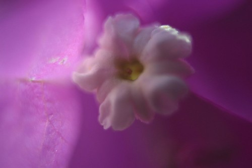 Closeup boungavilia