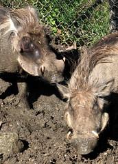 warthog - by estherase