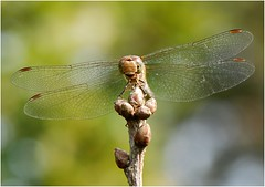 Dragonfly (Franka (moving on)) Tags: steenrodeheidelibel vagrantdarter