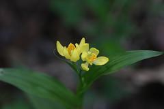 三保市民の森のキンラン(Gold orchid at Miho Community Woods, Japan)