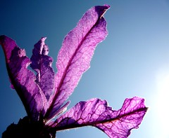 Spanish Lavender flower (~shiya~) Tags: newzealand flower nature lavender auckland spanishlavender ~shiya~ spanishlavenderflower